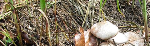 Mushroom growing in mulch and straw